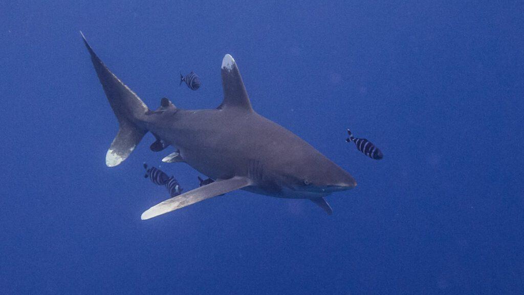 Un requin Longimanus en Egypte (photo Thomas C)